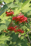 Bunches of viburnum berries on a branch, ripening in late summers Royalty Free Stock Photo