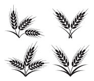 Bunches of wheat, barley or rye ears. vector. Bunches of wheat, barley or rye ears with whole grain and leaves, black crop harvest symbol or icon isolated on Stock Photo