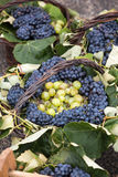 Bunches of white and black grapes in a wicker basket Stock Image