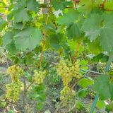 Bunches of white grape varieties Arkady hang on the vine with leaves on the trellis stock photo