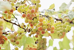 Bunches of white grape with water drops Stock Photography