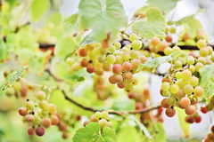 Bunches of white grape with water drops Stock Image