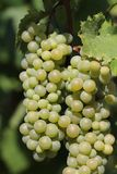 Bunches of a white grapes Royalty Free Stock Photography