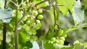 Bunches of white grapes being moved by the wind stock footage