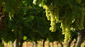 Bunches of white grapes in a Chianti vineyard on a sunny day. Tuscany. stock video