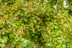 Bunches of white grapes in a vineyard Stock Photography