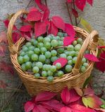 Bunches of white grapes in a wicker basket. Surrounded by red leaves against a gray wall background Stock Images
