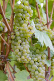 Bunches of White Wine Grapes Stock Photos