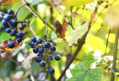 Bunches of wild red wine grapes hang from an old vine. In warm afternoon light, sunlight, autumn stock photo