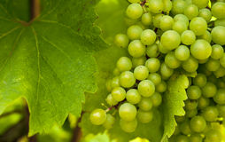 Bunches of wine grapes growing in italian field. stock image