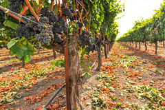 Bunches of wine grapes growning in vineyard Stock Image
