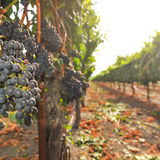 Bunches of wine grapes growning in vineyard Stock Photo