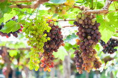 Bunches of wine grapes hanging on the vine with green leaves Stock Image
