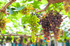 Bunches of wine grapes hanging on the vine with green leaves Royalty Free Stock Image