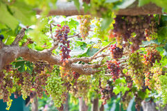Bunches of wine grapes hanging on the vine with green leaves Royalty Free Stock Photos