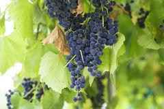 Bunches of wine grapes hanging on the wine in late afternoon sun Royalty Free Stock Photo
