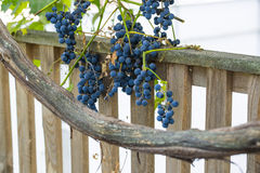 Bunches of wine grapes hanging on the wine in late afternoon sun Stock Images