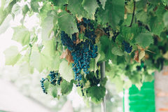 Bunches of wine grapes hanging on the wine in late afternoon sun Stock Image