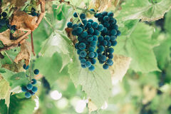 Bunches of wine grapes hanging on the wine in late afternoon sun Royalty Free Stock Photography