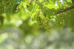 Bunches of wine grapes on the vine. Royalty Free Stock Image