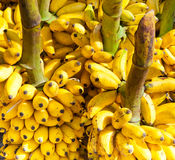 Bunches of yellow bananas. Sri Lanka Stock Photo
