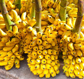 Bunches of yellow bananas. Sri Lanka Stock Images