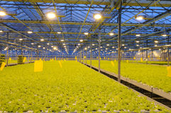 Bunching lettuce in the greenhouse stock photography