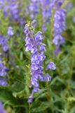 Bunchleaf penstemon royalty free stock images
