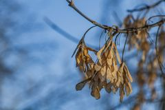 The bunchs of maple seeds are on the blue sky background in a park royalty free stock photography