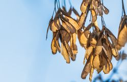 The bunchs of maple seeds are on the blue sky background in a park. In autumn royalty free stock photos