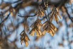 The bunchs of maple seeds are on the blue sky background in a park. In autumn royalty free stock image