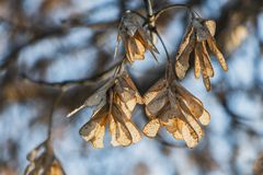 The bunchs of maple seeds are on the blue sky background in a park. In autumn stock photography