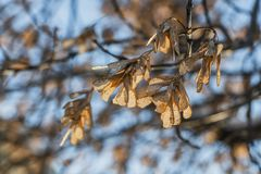The bunchs of maple seeds are on the blue sky background in a park. In autumn stock image