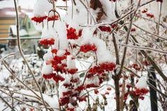 Bunchs Viburnum in garden in icing Stock Photo