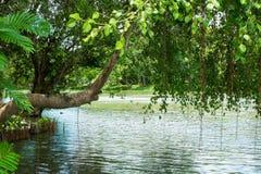 Bunchy Ficus benjamina Linn. Ficus benjamina Linn is bunchy on the water royalty free stock image