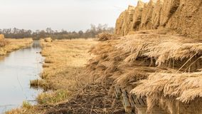 Bundels of thatch lying on the field Stock Image