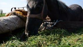 Bunden grå häst som äter hö från släpet stock video