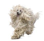 bunden med rep främre poodle som kör standard siktswhite Royaltyfria Foton