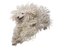 bunden med rep främre poodle som kör standard siktswhite Royaltyfri Bild