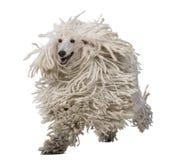 bunden med rep poodle som kör standard white Royaltyfri Bild