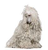 bunden med rep poodle som sitter standard white royaltyfri foto