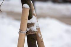 Bundet upp träd i vinter arkivbild