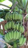Bundke rå bananer på trädet, Hadyai, Songkhla, Thailand Royaltyfria Foton