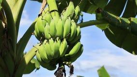 Bundle of bananas stock video footage