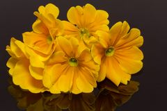Bundle of beautiful spring  flowers of yellow primula on black background Royalty Free Stock Image