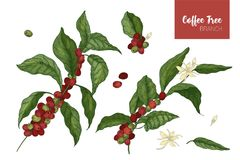 Bundle of botanical drawings of coffea or coffee tree branches with leaves, flowers and ripe fruits isolated on white. Background. Colorful vector illustration royalty free illustration