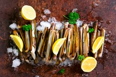 Bundle, bunch of fresh razor clams on ice, dark concrete background, lemon, herbs. Copy space, top view. Royalty Free Stock Image