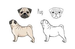 Bundle of colorful and monochrome outline drawings of face and full body of fawn Pug, front and side views. Small. Companion dog, lapdog, funny playful pet Royalty Free Stock Image