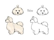 Bundle of colorful and monochrome outline drawings of head and full body of white Maltese, front and side views. Playful Stock Images