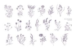 Bundle of detailed botanical drawings of blooming wild flowers. Collection of herbaceous flowering plants hand drawn. With contour lines on white background stock illustration